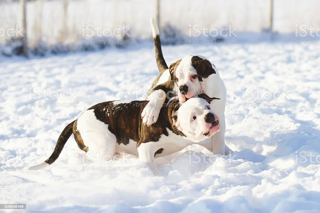 Two American Bulldog puppies playing on the snow stock photo