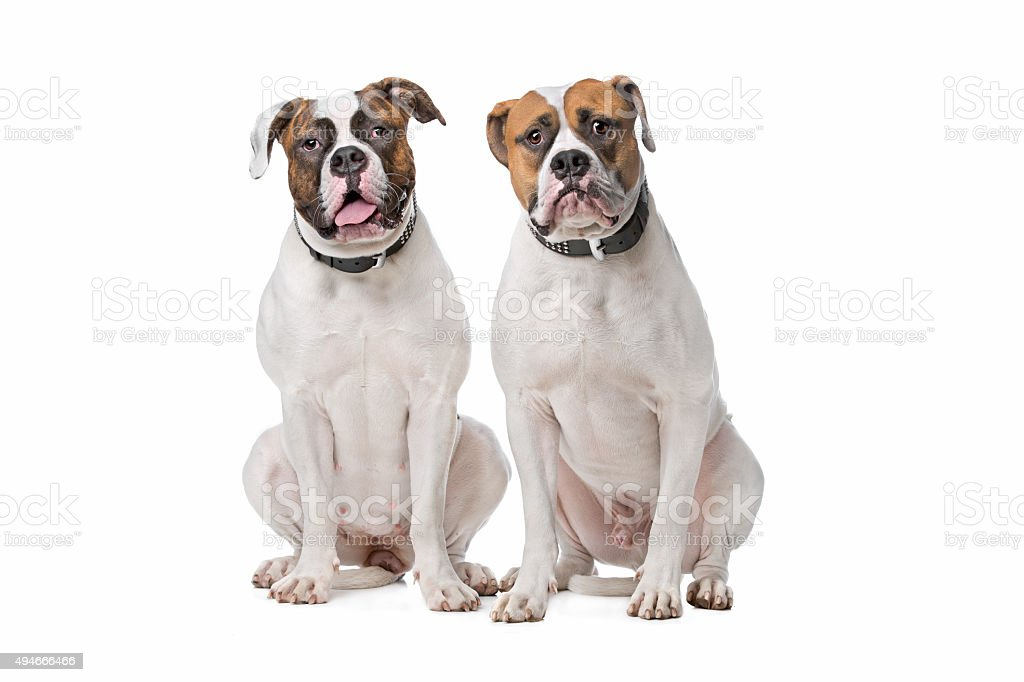 two American Bulldogs stock photo