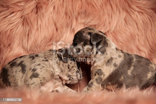 side view of two American bully dogs standing and cuddling each other on pink studio background