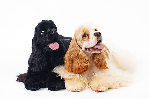 Two American Cocker Spaniel dogs lying indoors on white background stock photo