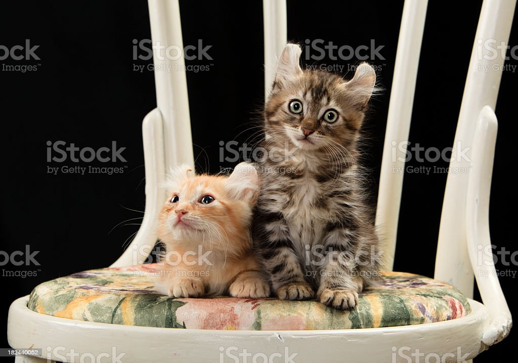 Two American Curl cats royalty-free stock photo