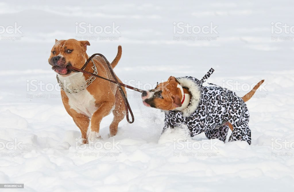 Two american staffordshire terrier dogs doing love game on a snow-covered field royalty-free stock photo