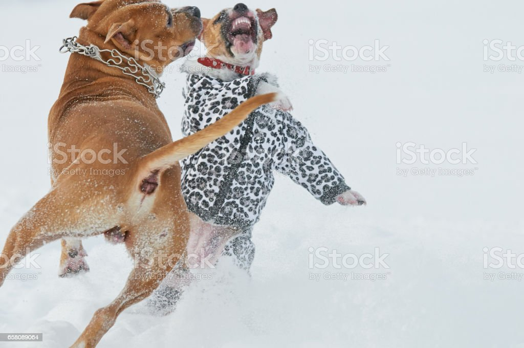 Two american staffordshire terrier dogs having fun in snow royalty-free stock photo