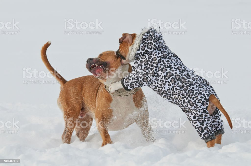 Two american staffordshire terrier dogs playing love game in winter royalty-free stock photo