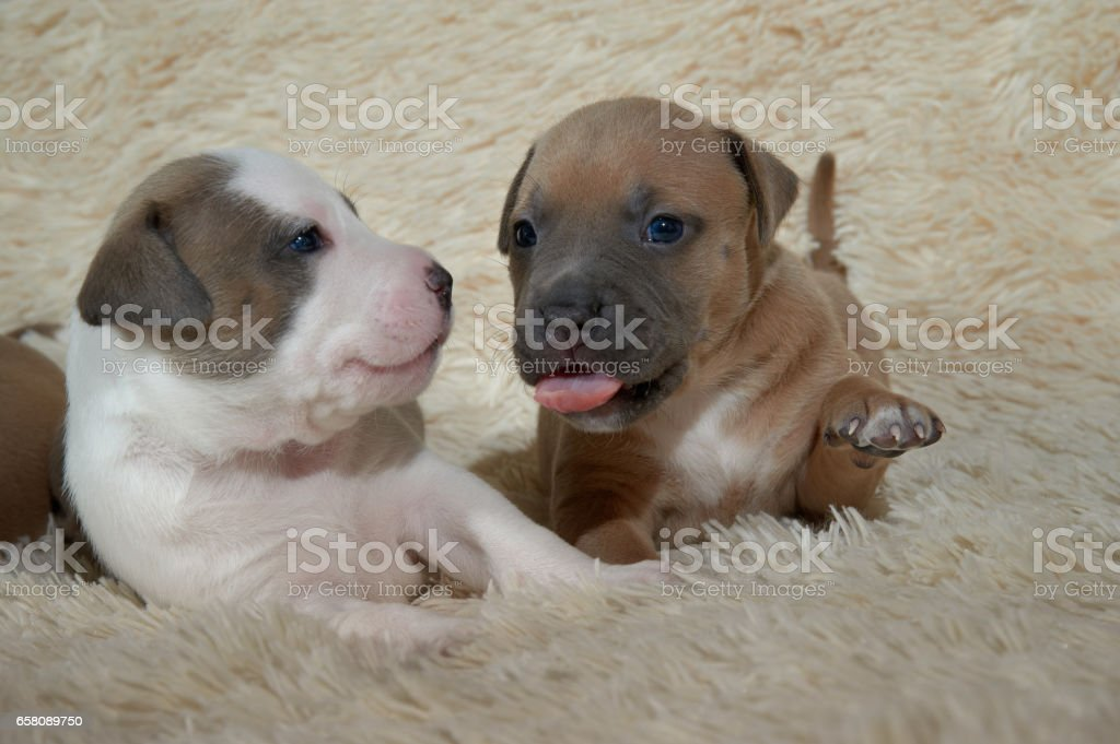 Two american staffordshire terrier puppies sitting on the cover royalty-free stock photo