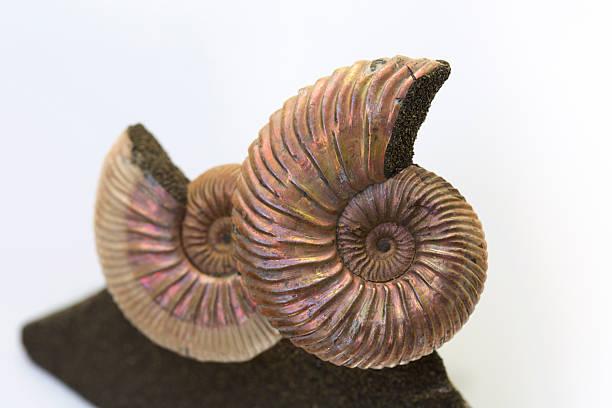 Zwei Ammonit Fossilien – Foto