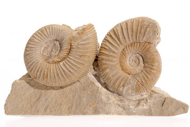 1 つで 2 つの ammonites ストーンスタジオショットを白背景 ストックフォト