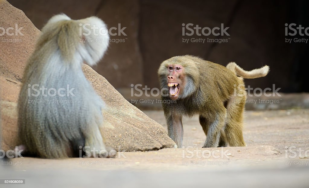Two Angry Baboon stock photo