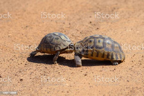 Two angulate tortoises fighting picture id1068716868?b=1&k=6&m=1068716868&s=612x612&h=nv 8yf84aq29bbxs18egvbwxwdig3umzjlh8feq wci=