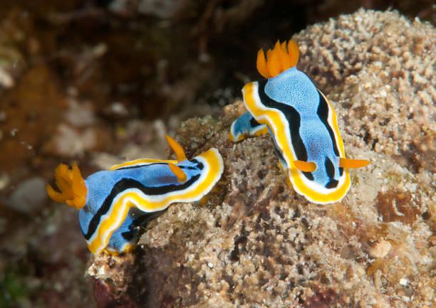 Two  anna`s magnificent sea-slug on coral stock photo