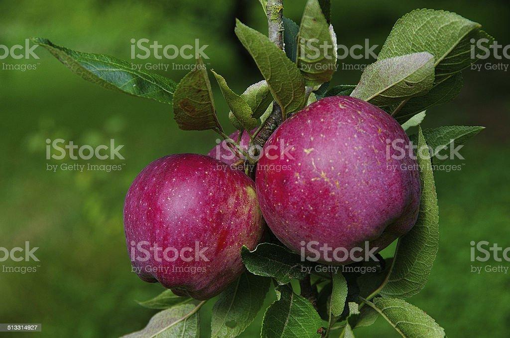 Due annurca di mele su un ramo della struttura ad albero - foto stock