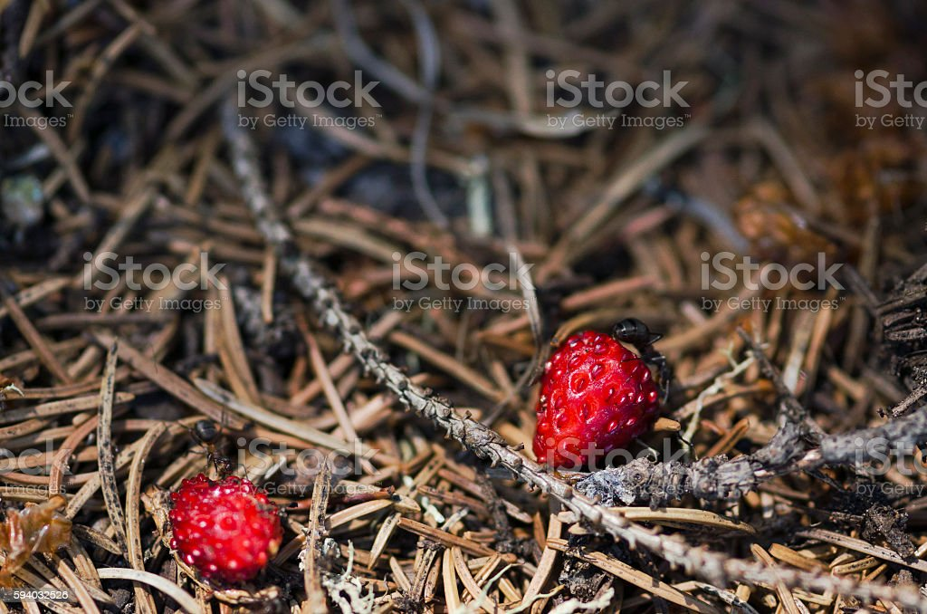 Two ants and two wild strawberries stock photo