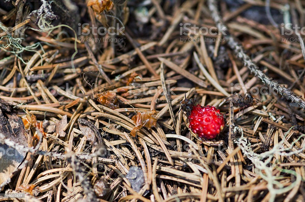 Two ants and wild strawberry stock photo