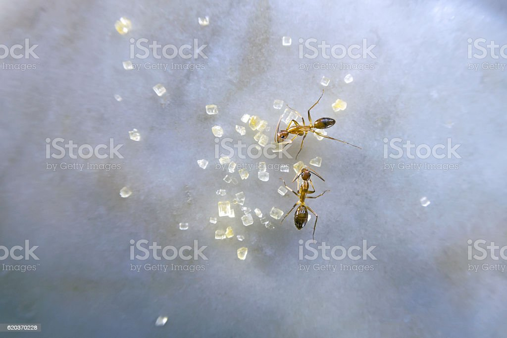 Two ants eating sugar on marble table foto de stock royalty-free