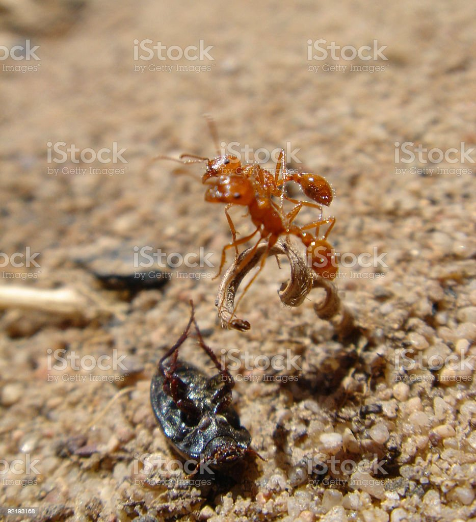 Two Ants Fighting for Food royalty-free stock photo