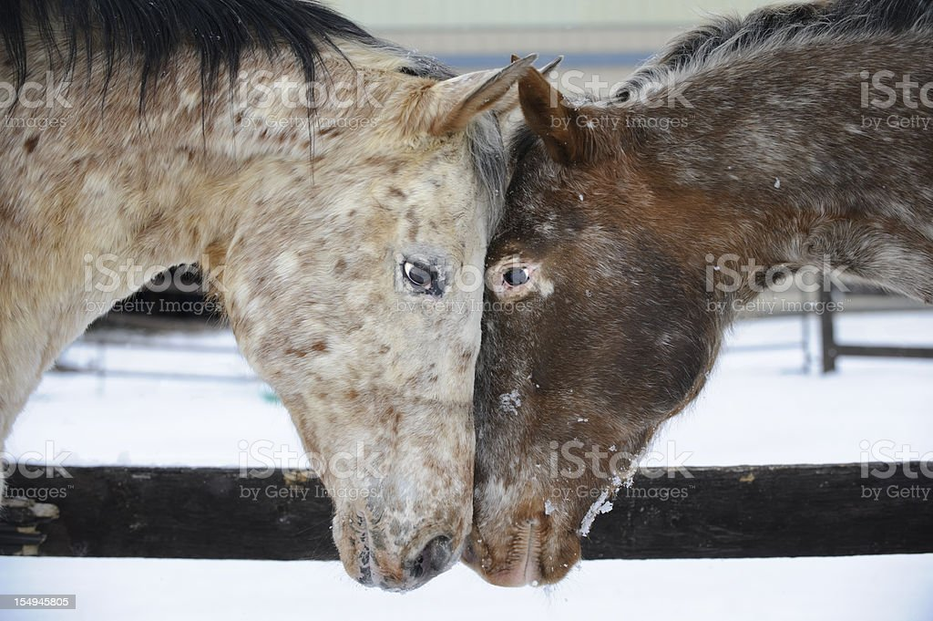 Two Appaloosa Horses Looking at Each Other Touching Heads stock photo