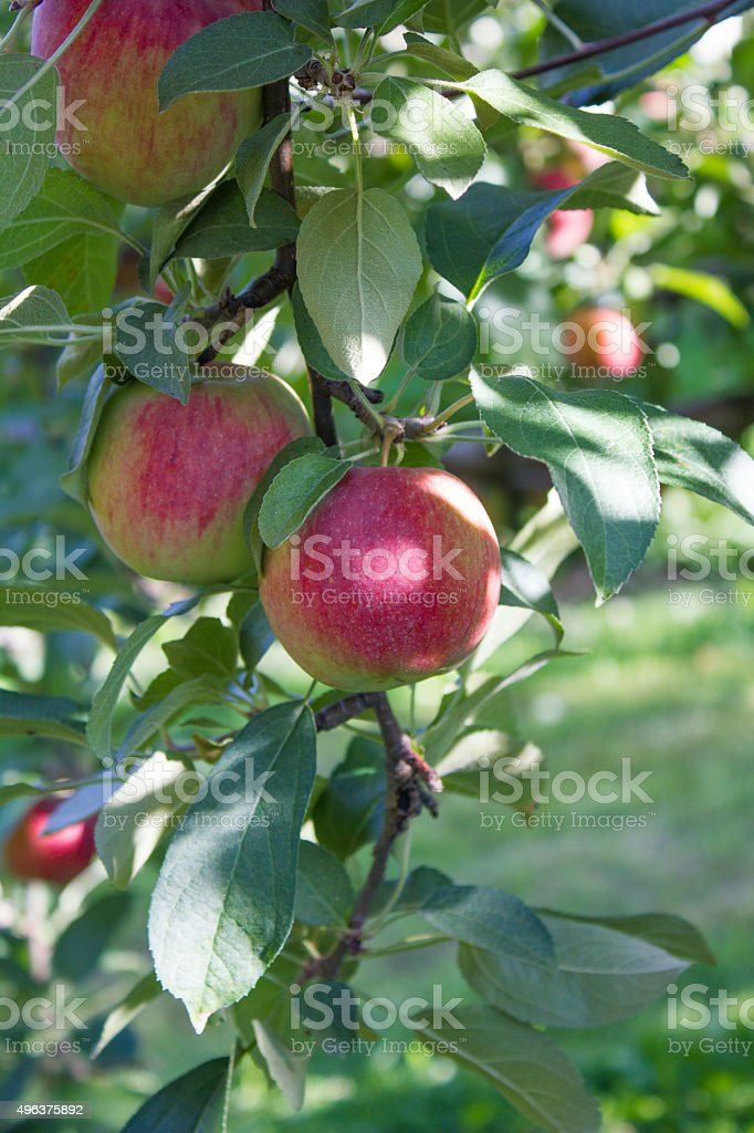 Two Apples in a Tree Close up of two red and green apples in a tree. 2015 Stock Photo
