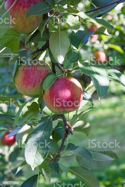 Two Apples In A Tree Stock Photo - Download Image Now
