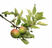 Two apples on a branch isolated on white, Norway