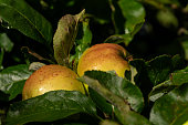 Two apples growing on an apple tree, speckled with drop so water shortly after a shower of rain.  Belfast, Northern Ireland.  Northern Ireland is renown for apple production, in particular for the manufacture of cider.