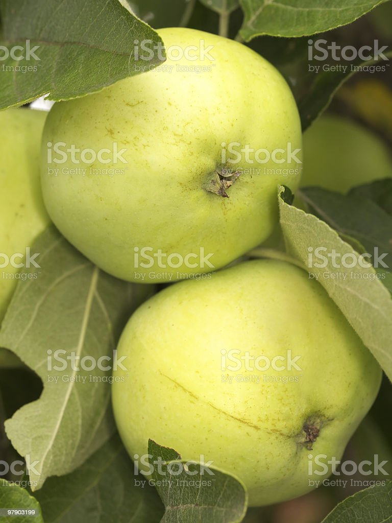 Two apples on tree royalty-free stock photo
