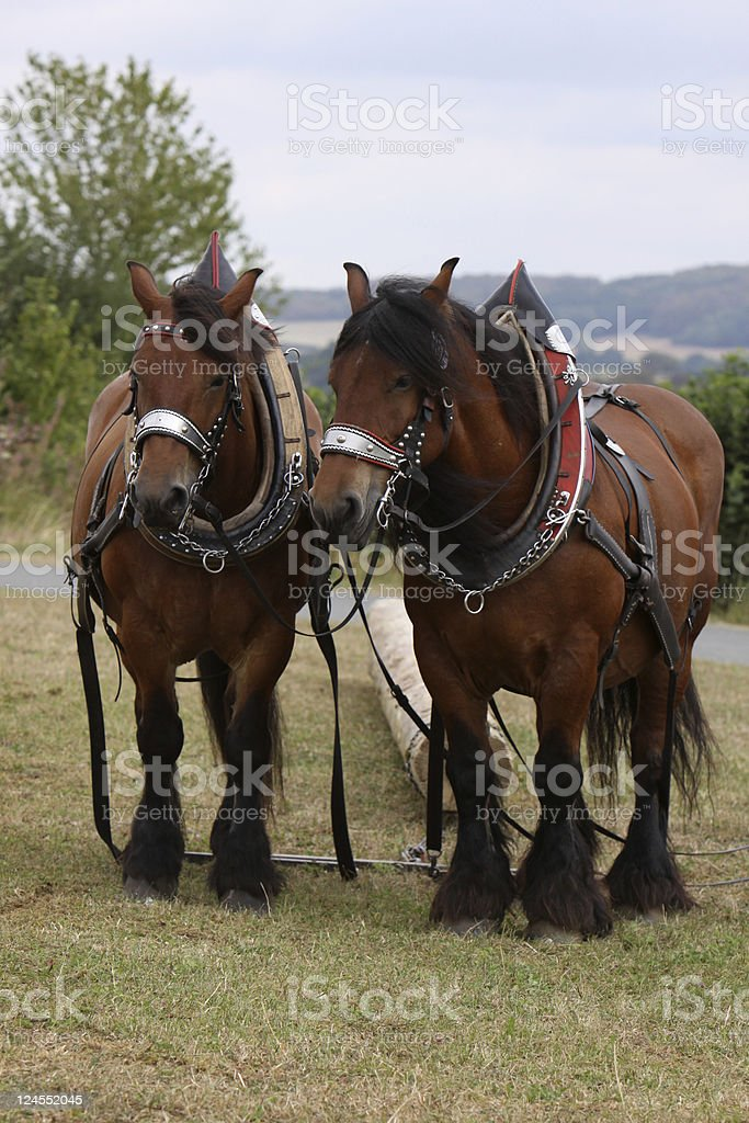 Two Ardennes Horses stock photo