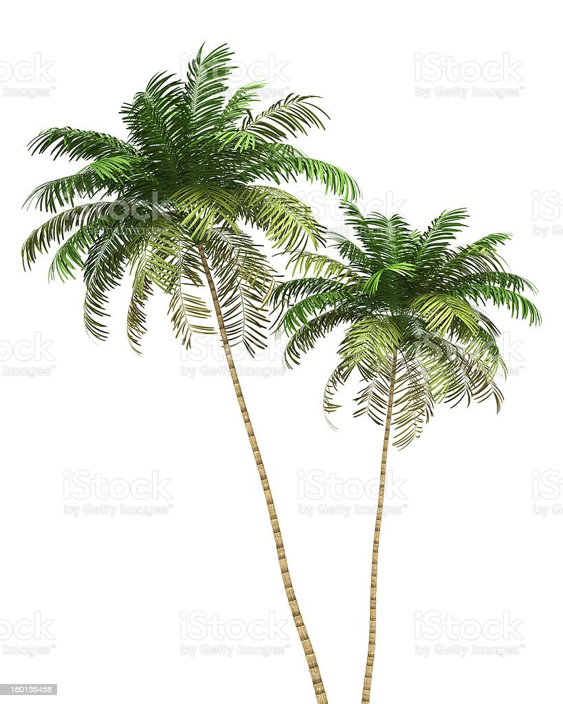two Areca palm trees isolated on white background royalty-free stock photo