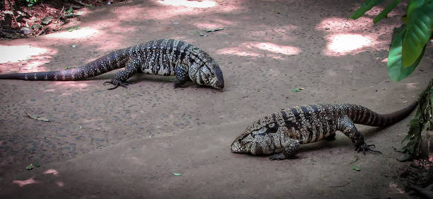Blue Tegu Stock Photos, Pictures & Royalty-Free Images - iStock