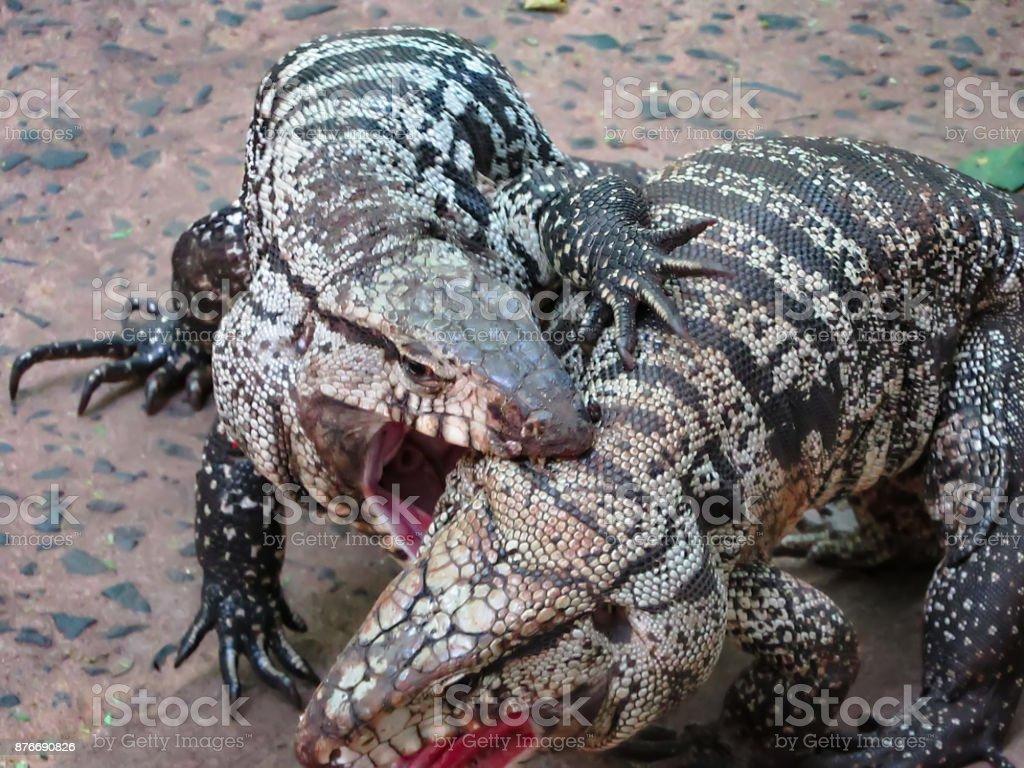 My GIANT lizard, Ovi, Black and White Tegu - YouTube   Giant Tegu Lizard