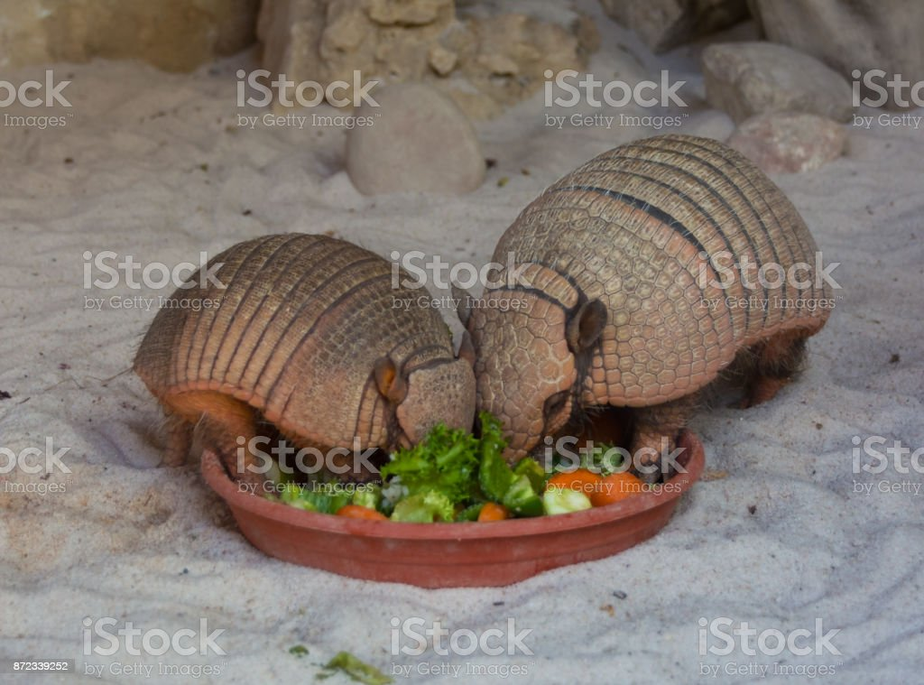 two armadillos eating vegetables stock photo