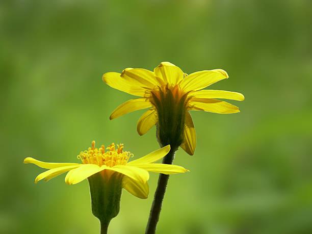 Zwei Arnika Blumen natürlichen Hintergrund – Foto