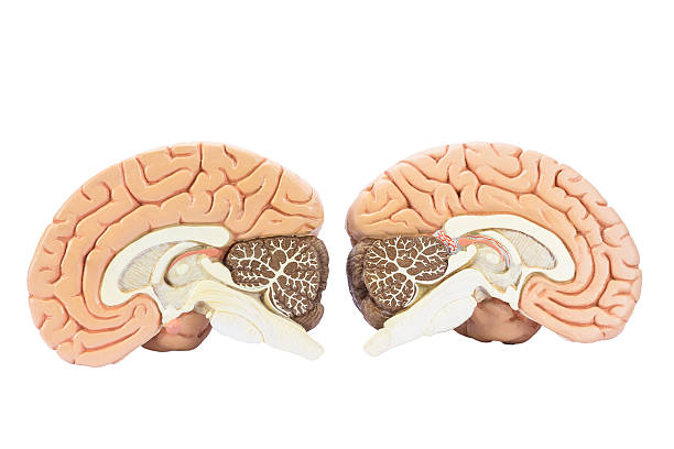 Two artificial human hemispheres stock photo