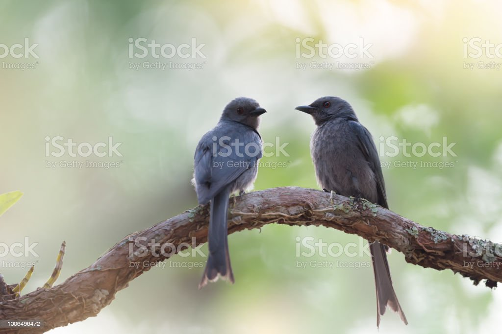 Pair of Ashy Drongo birds on perch, facing each other, morning light,...