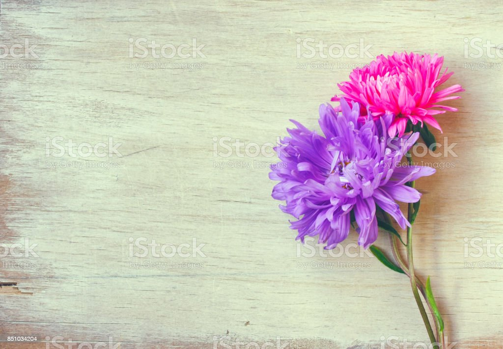 zwei Aster Blumen, Pink und lila – Foto