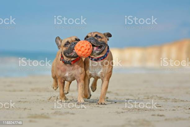 Two athletic brown french bulldog dogs playing fetchwith ball at the picture id1153247745?b=1&k=6&m=1153247745&s=612x612&h=nec1ngygzaerrndtjmmmjbvp564kpflkynrcxomcjje=