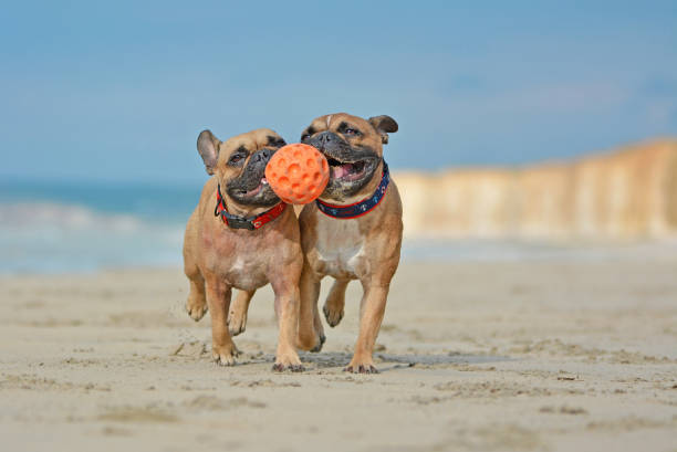 Two athletic brown French Bulldog dogs playing fetchwith ball at the beach with a maritime dog collars dog photography french bulldog stock pictures, royalty-free photos & images
