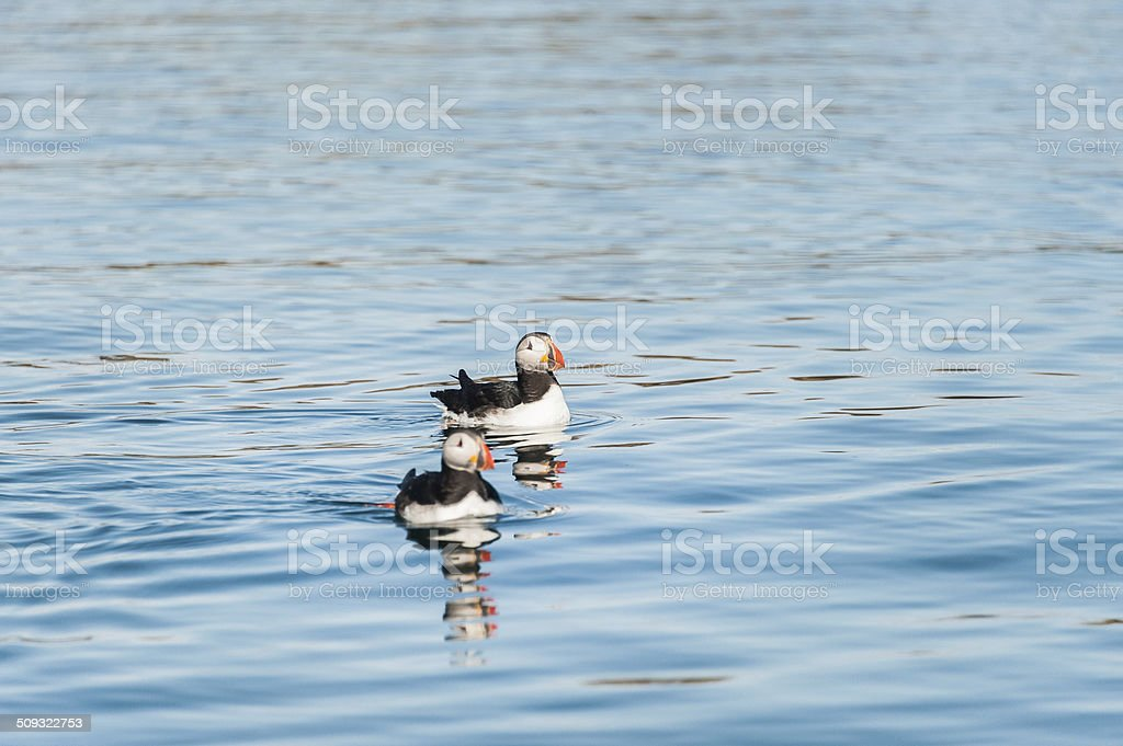 two Atlantic puffins in Iceland stock photo