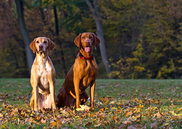 Zwei aufmerksame ungarischen Vizsla Jagdhund aufgefressen – Foto