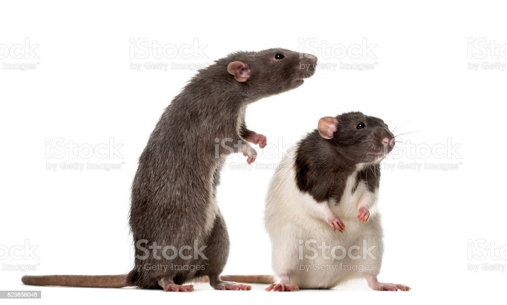 Two attentive Rats standing , isolated on white stock photo