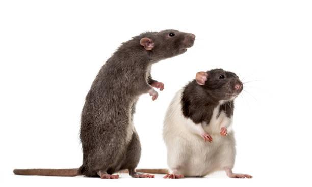 Deux Rats attentifs debout, isolé sur blanc - Photo