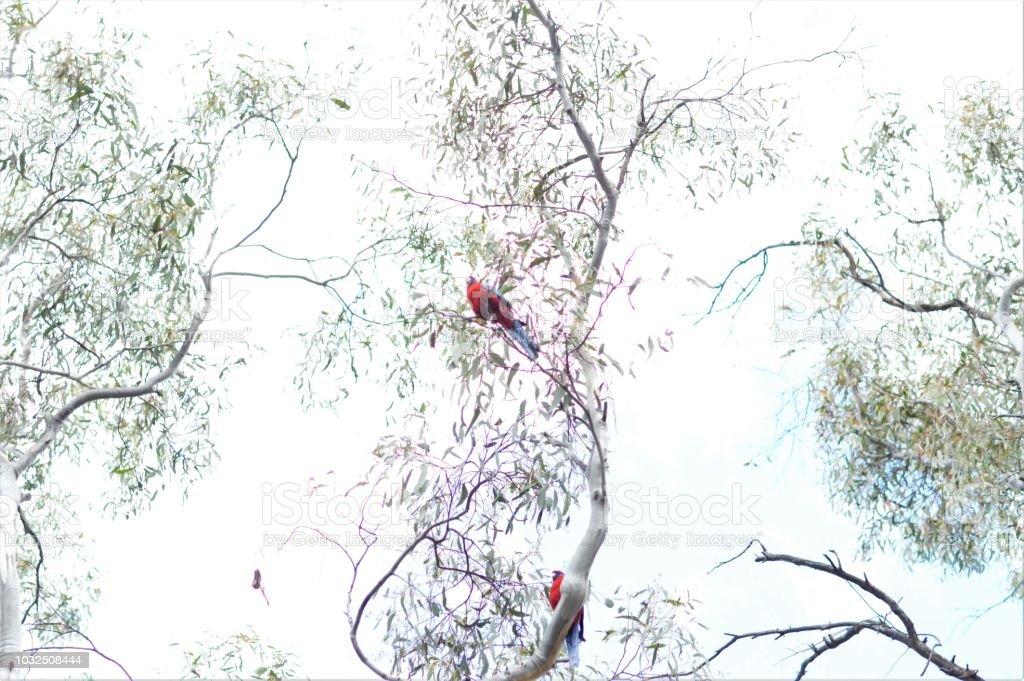Two Australian birds among tree branches. stock photo
