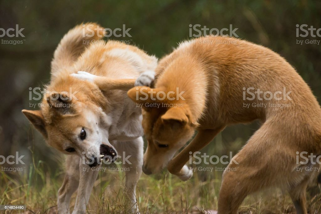 Two Australian Dingo Dogs Play fight with agrressive jaws open stock photo