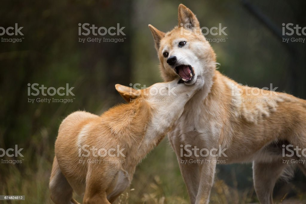 Two Australian Dingo Dogs play for dominance stock photo