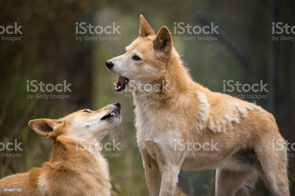 Two Australian Dingo Dogs stand aggressively with jaws open stock photo