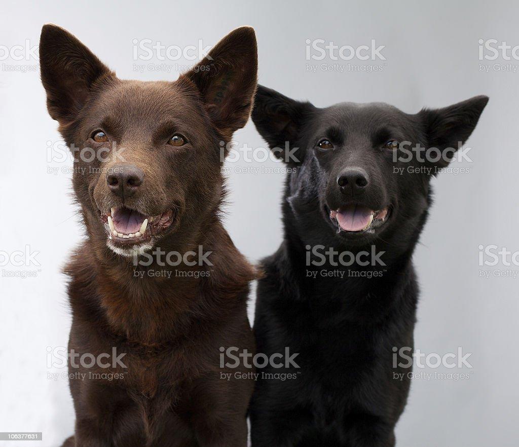 two Australian Kelpies stock photo