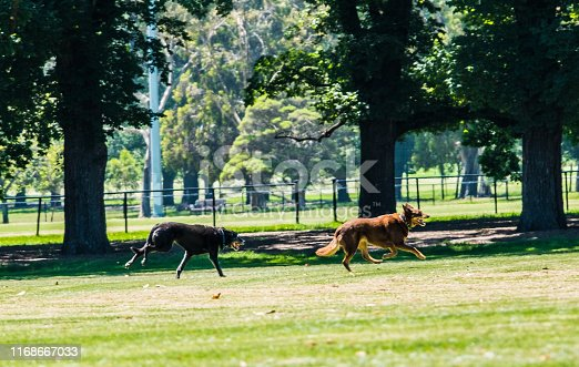 Sunny day in the park with two Australian Kelpie dogs playing on a lawn, photo taken in Fawkner Park, Melbourne, Australia