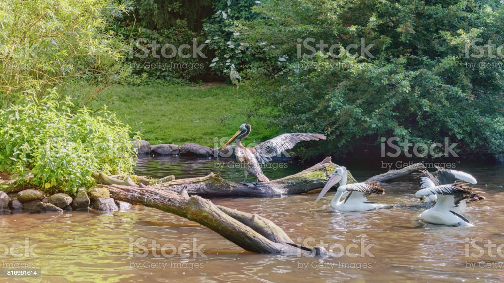 Two Australian Pelicans and Peruvian pelican stock photo