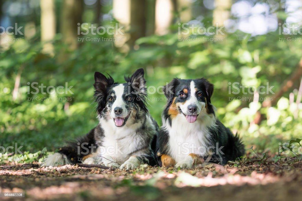 Two australian shepherd dogs royalty-free stock photo