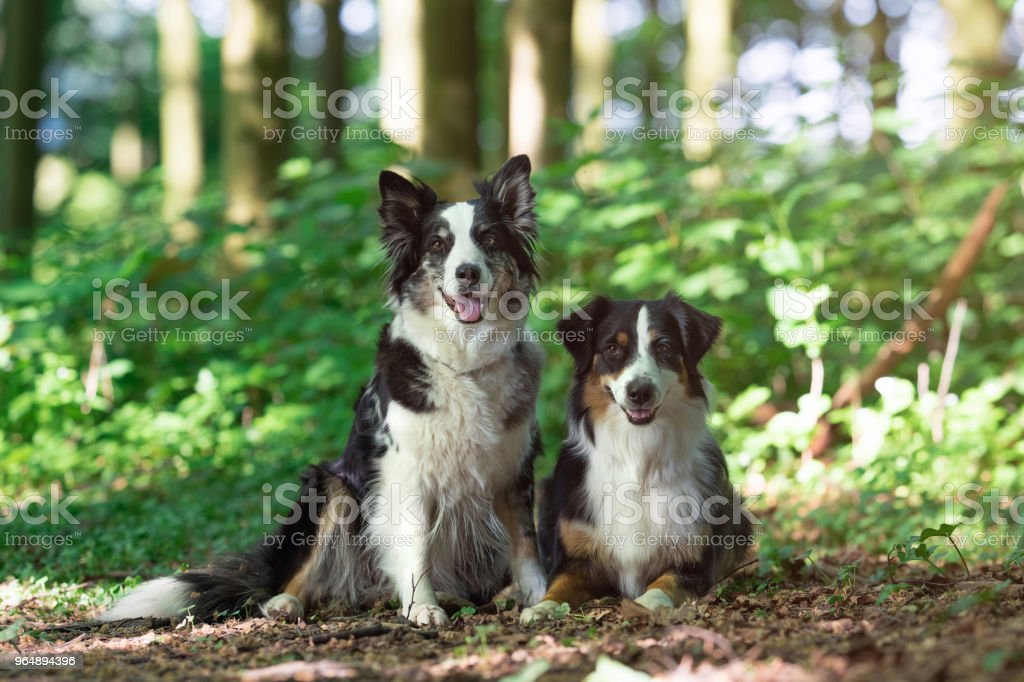 Two australian shepherd dogs royalty-free stock photo
