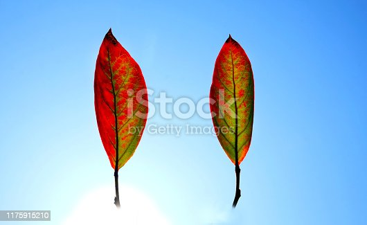 istock two autumn leaves floating in a blue sky 1175915210